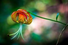 Лилия тигра Стоковая Фотография RF