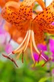 Лилия тигра Стоковое Фото