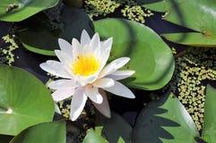 Лилия душистой воды Стоковые Изображения RF