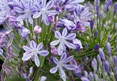 Лилия цветка Нила, Кения Стоковые Изображения RF