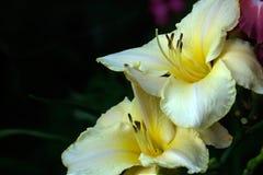 Лилия Цветок сада Стоковое Фото