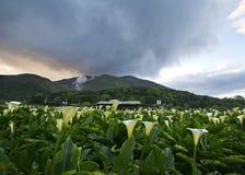 Лилия Calla обрабатывает землю взгляд в Тайване Тайбэе стоковое изображение