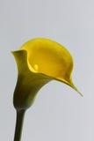 Лилия Calla стоковые изображения