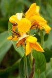 Лилия Canna 'король Humbert желтого цвета' Стоковое фото RF