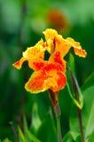 Лилия canna оранжевого желтого цвета Стоковые Изображения