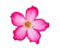 Лилия Pinkbignonia или импалы, изолят Стоковые Изображения