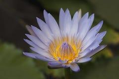 Лиловая лилия воды Стоковое Изображение RF