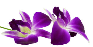 Лиловая орхидея изолированная на белой предпосылке Стоковые Фото