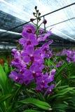 Лиловая орхидея Стоковая Фотография