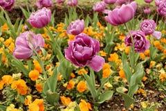 Лиловые тюльпаны Стоковая Фотография RF