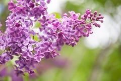 Лиловые цветки сирени нежность предпосылки зеленая Весеннее время в саде Стоковое Фото