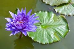 Лиловый лотос в пруде Стоковое Фото