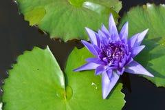 Лиловый лотос в пруде Стоковое фото RF