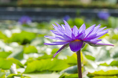 Лиловый лотос в пруде Стоковые Изображения RF