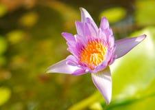 Лиловый лотос в солнечном свете Стоковая Фотография RF