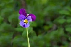 Лиловый цветок Стоковая Фотография