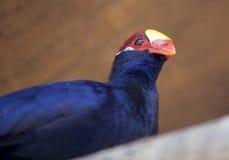 Лиловый turaco Стоковая Фотография RF