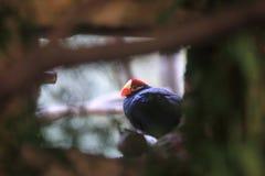 Лиловый turaco Стоковые Фото