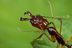 ловушка челюсти муравея стоковые фото