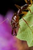 ловушка челюсти муравея стоковая фотография rf