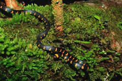 Ложная змейка коралла, narduccii micrurus, coralillas с черной оранжевой картиной сползая вниз от хобота предусматриванного во мх стоковое изображение