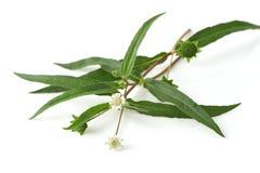 Ложная маргаритка, дерево бело-головы стоковое изображение rf