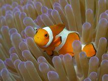 Ложное Clownfish Стоковое фото RF