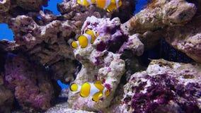 Ложные anemonefish клоуна или ocellaris Amphiprion nemo видеоматериал