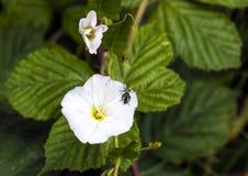 Ложные nobilis Oedemera жука масла стоковое фото rf