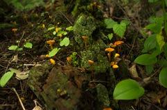 Ложный мох гриба лисички Стоковые Изображения RF