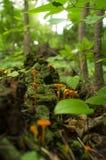 Ложный мох гриба лисички Стоковое Изображение