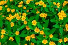 Ложный солнцецвет Стоковая Фотография RF