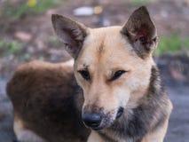 Ложь бездомной собаки Брайна Стоковое Изображение