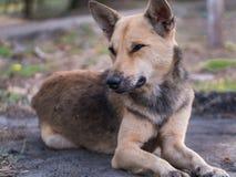 Ложь бездомной собаки Брайна Стоковая Фотография