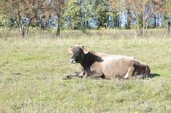 Ложь коровы на зеленом поле Стоковое Изображение RF