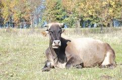 Ложь коровы на зеленом поле Стоковые Изображения