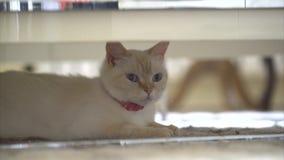 Ложь кота голубых глазов под столом сток-видео
