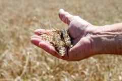 Ложь колоска пшеницы на мужской ладони Стоковая Фотография RF