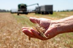 Ложь колоска пшеницы на мужской ладони Стоковая Фотография