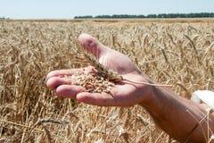 Ложь колоска пшеницы на мужской ладони Стоковое Изображение