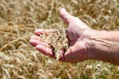 Ложь колоска пшеницы на мужской ладони Стоковые Фотографии RF