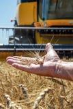 Ложь колоска пшеницы на мужской ладони Стоковое Изображение RF