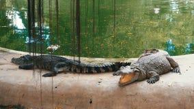 Ложь крокодилов около воды зеленого цвета Тинное болотистое река Таиланд ashurbanipal сток-видео