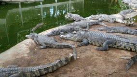 Ложь крокодилов около воды зеленого цвета Тинное болотистое река Таиланд ashurbanipal видеоматериал