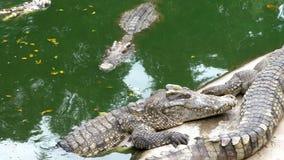 Ложь крокодилов около воды зеленого цвета Тинное болотистое река Таиланд ashurbanipal акции видеоматериалы