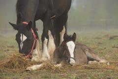 Ложь лошади и осленка в поле стоковое фото rf