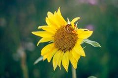 Ложь 2 обручальных колец на солнцецвете Стоковое Фото