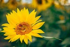 Ложь 2 обручальных колец на солнцецвете Стоковые Изображения