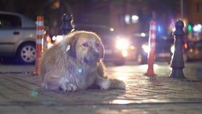 Лож бездомной собаки на улице города вечером на предпосылке проходить автомобили и людей акции видеоматериалы
