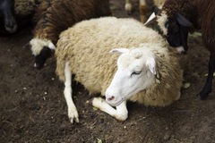 Лож белых овец Стоковые Изображения